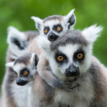 lemuri_isalo_np_top_5_madagascar